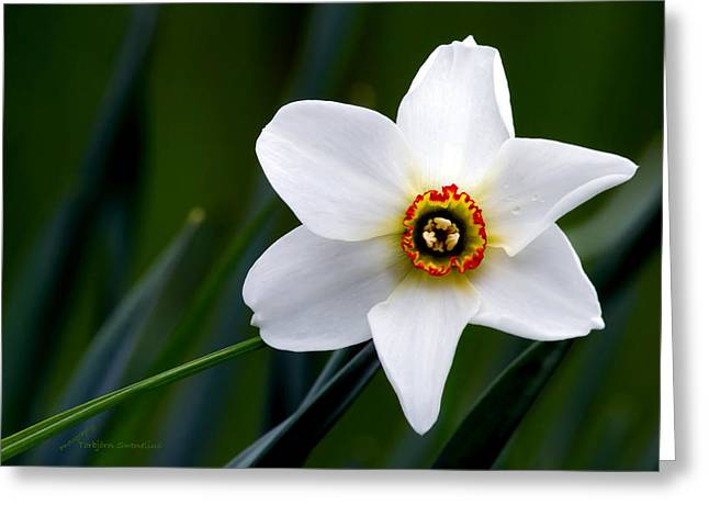 Poet's Daffodil Greeting Card