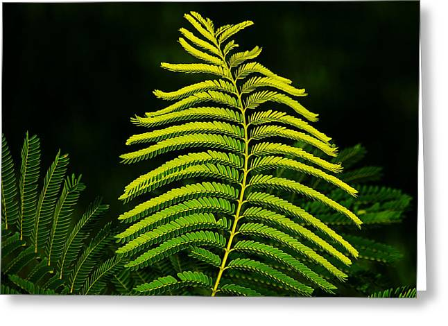 Greeting Card featuring the photograph Poinciana Leaf by Lorenzo Cassina