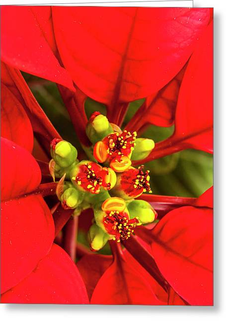 Poinsettia In All Its Christmas Glory Greeting Card by Michael Qualls
