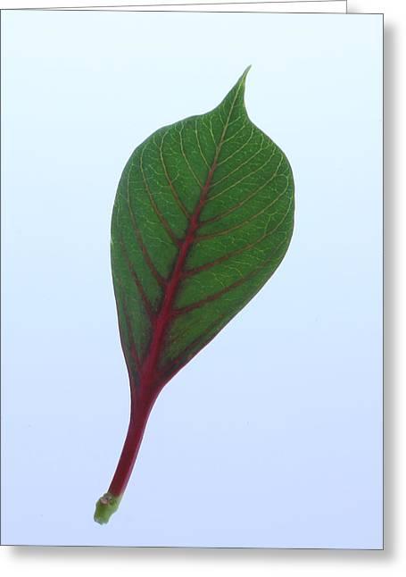 Poinsettia Leaf Greeting Card by Richard Stephen