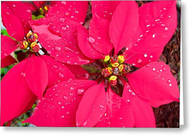 Poinsettia Morning Dew Greeting Card by Zina Stromberg