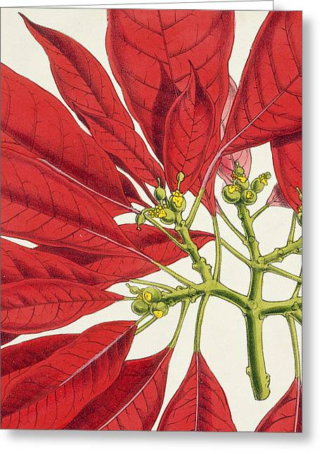 Poinsettia Pulcherrima Greeting Card by WG Smith