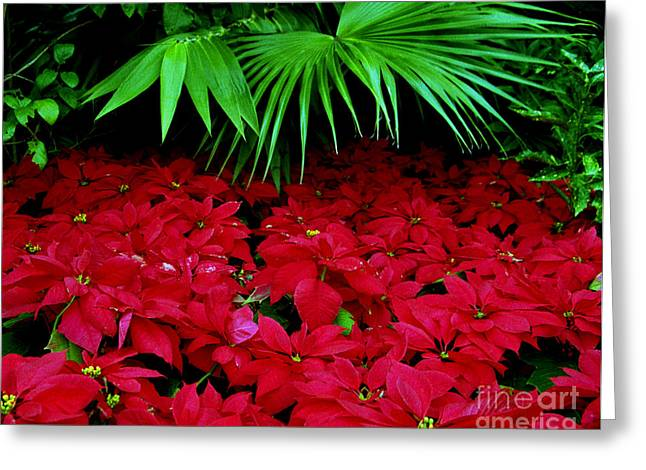 Greeting Card featuring the photograph Poinsettias And Palm by Tom Brickhouse