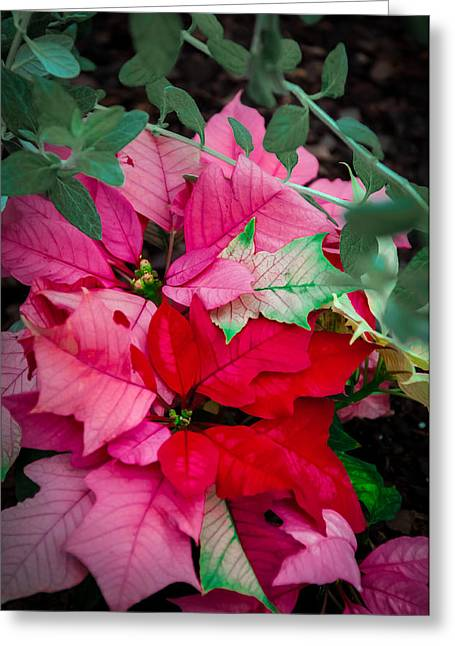 Poinsettias In Maturation Greeting Card by Gene Sherrill