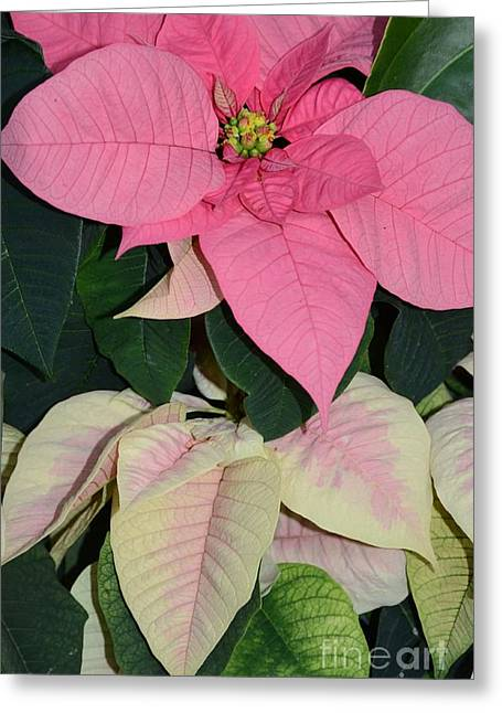 Poinsettias Greeting Card by Kathleen Struckle