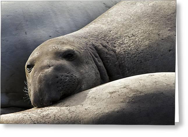 Point Piedras Blancas Elephant Seal 1 Greeting Card