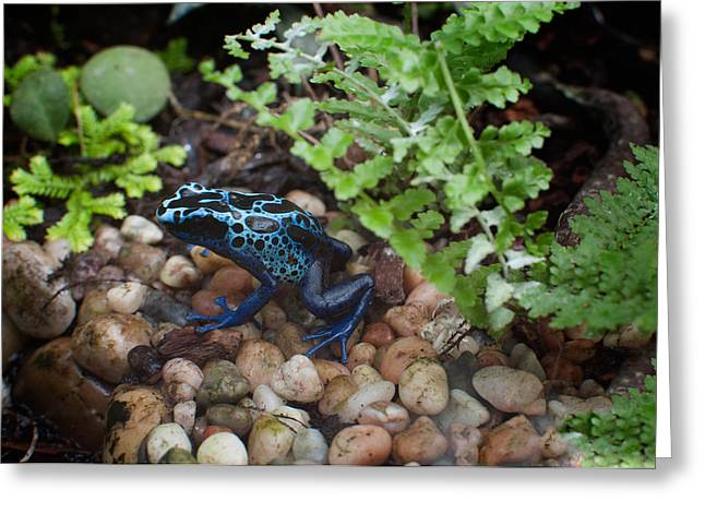 Poison Dart Frog Greeting Card by Carol Ailles