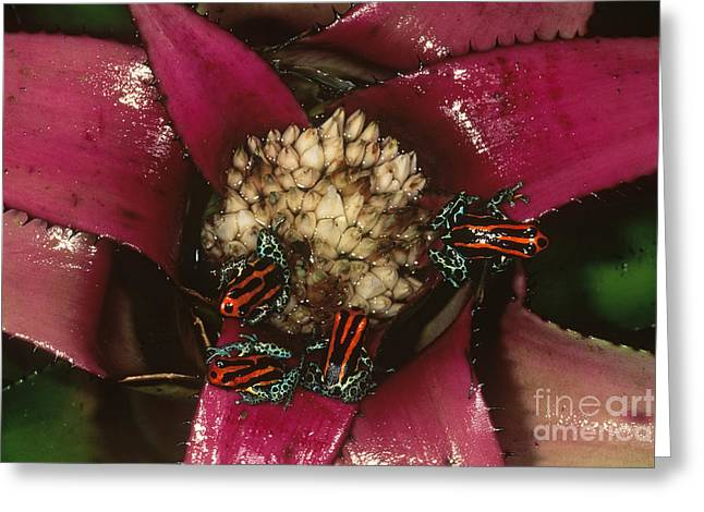 Poison Frogs On Bromeliad Greeting Card by Art Wolfe