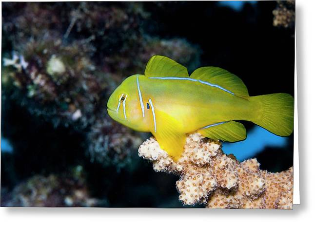 Poison Goby On Coral Greeting Card by Georgette Douwma