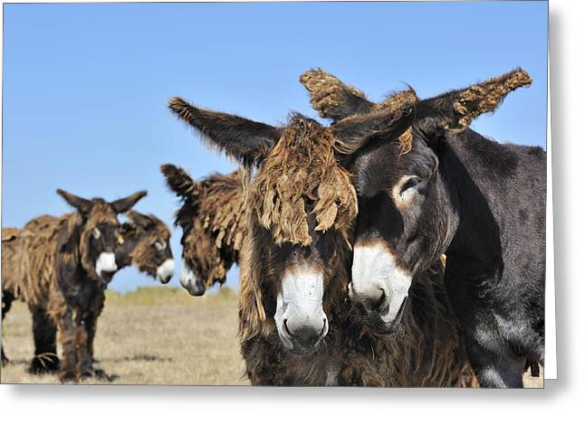 Poitou Donkey 3 Greeting Card by Arterra Picture Library