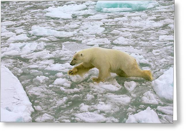 Polar Bear Crossing Ice Floes Greeting Card by Peter J. Raymond