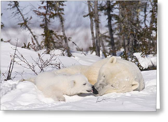 Polar Bear Cub Kisses Mother Greeting Card