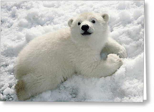 Polar Bear Cub Playing In Snow Alaska Greeting Card