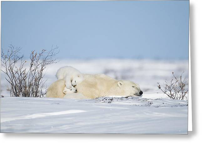 Polar Bear Cubs Play On Mothers Back Greeting Card