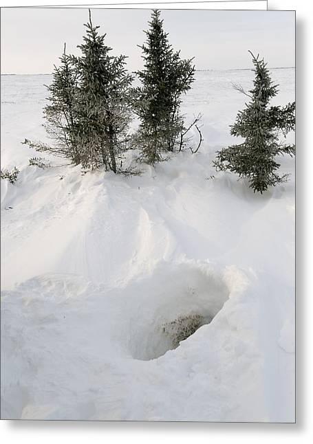 Polar Bear Den Entrance Greeting Card by Science Photo Library