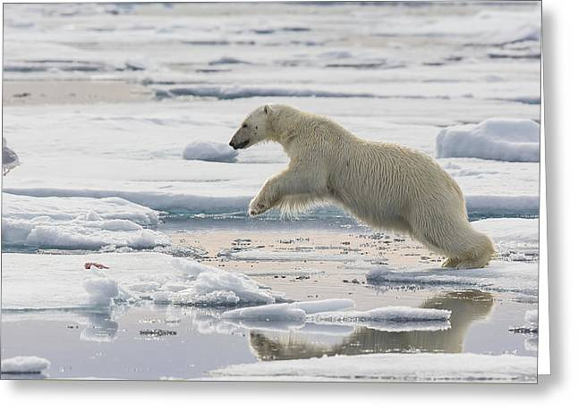 Polar Bear Jumping  Greeting Card by Peer von Wahl