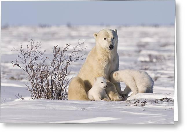 Polar Bear Nurses Cubs Greeting Card