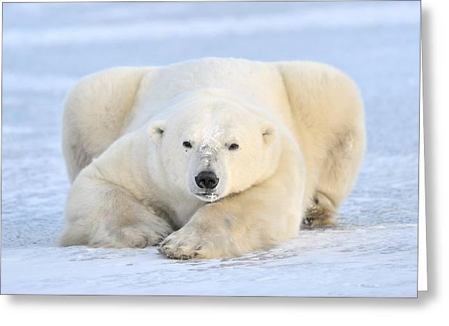 Polar Bear On Pack Ice Churchill Greeting Card
