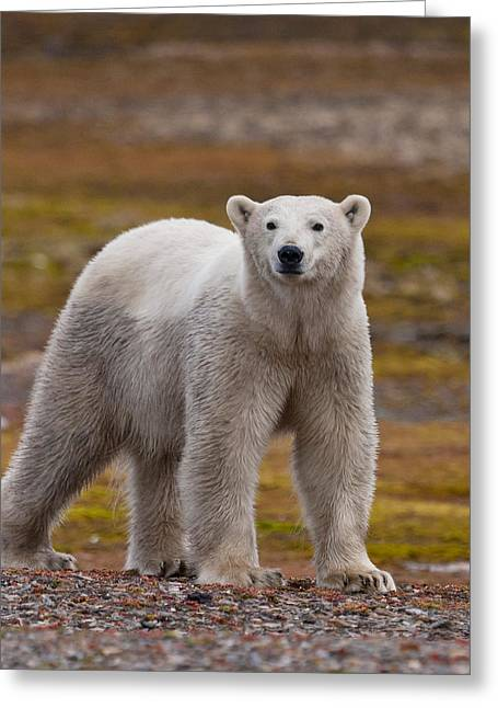 Polar Bear, Spitsbergen Island Greeting Card by Panoramic Images