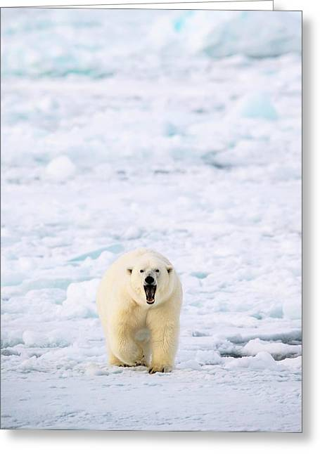 Polar Bear Walking On A Ice Floe Greeting Card