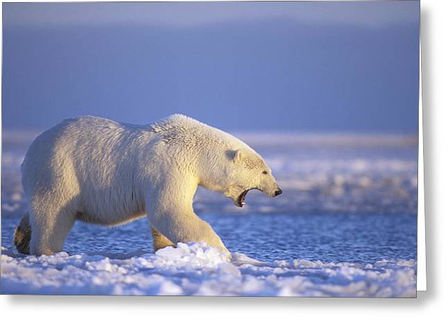 Polar Bear Walking On Pack Ice Beaufort Greeting Card by Steven Kazlowski