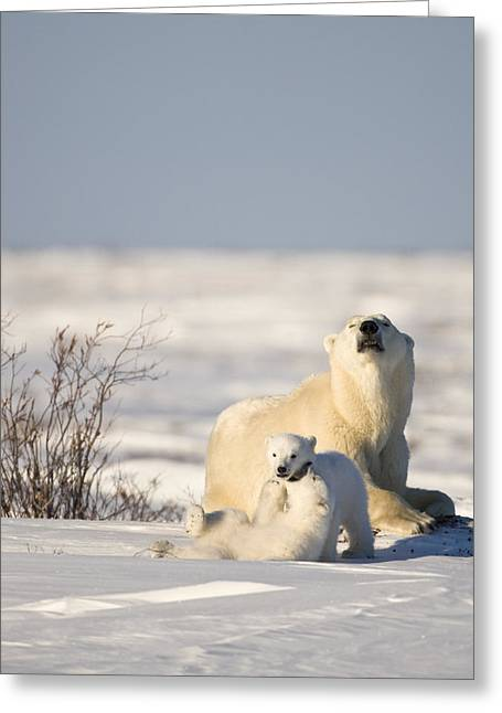 Polar Bear Watches Cubs Play Greeting Card