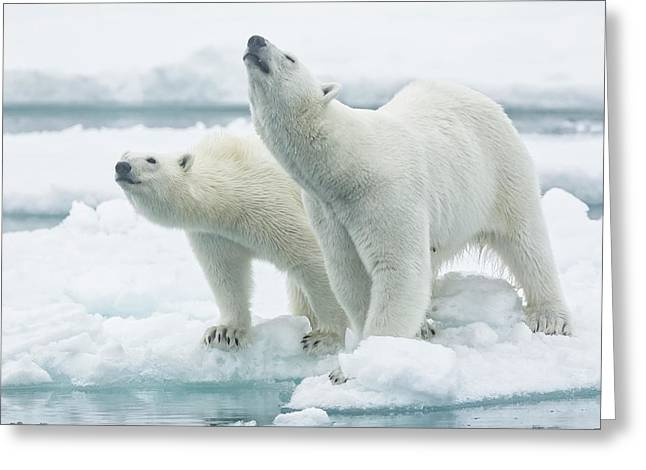 Polar Bears, Mother And Son Greeting Card