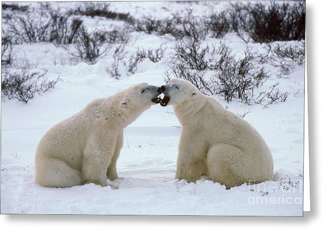 Polar Bears Sparring Greeting Card by Francois Gohier