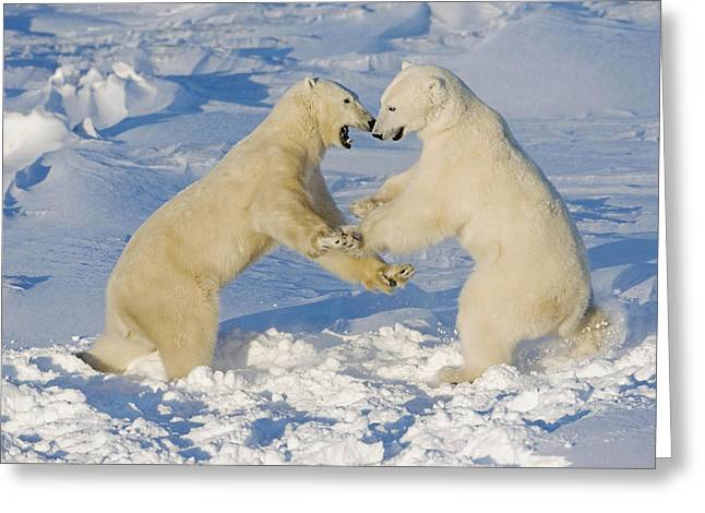 Polar Bears Wrestling And Play Fighting Greeting Card by Tom Soucek