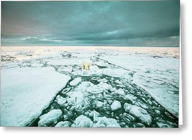 Polar Standing On An Ice Floe Greeting Card