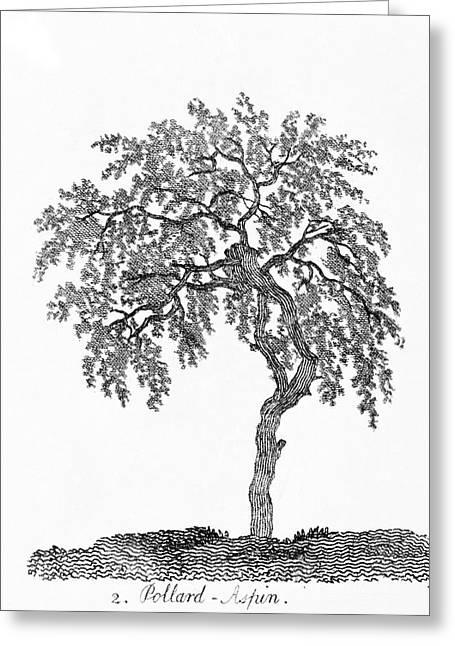 Pollarded Aspen Tree Greeting Card