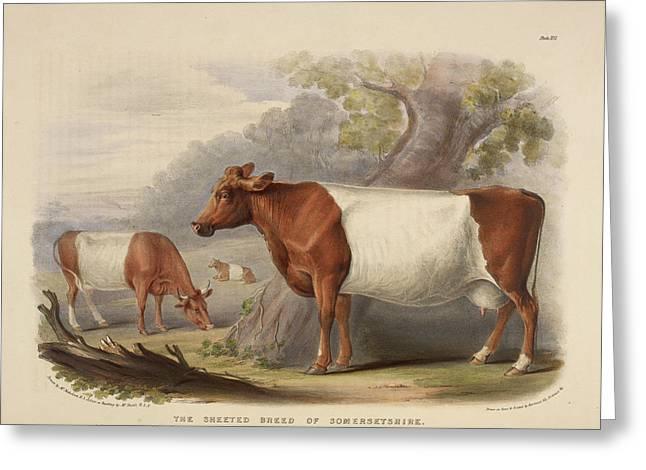Polled Suffolk Breed Greeting Card by British Library