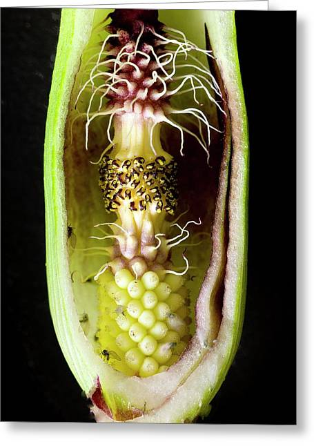 Pollination Mechanism Of Arum Apulum Greeting Card by Dr Jeremy Burgess