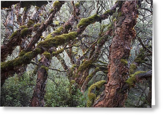 Polylepis Forest Cordillera Blanca Peru Greeting Card by Cyril Ruoso