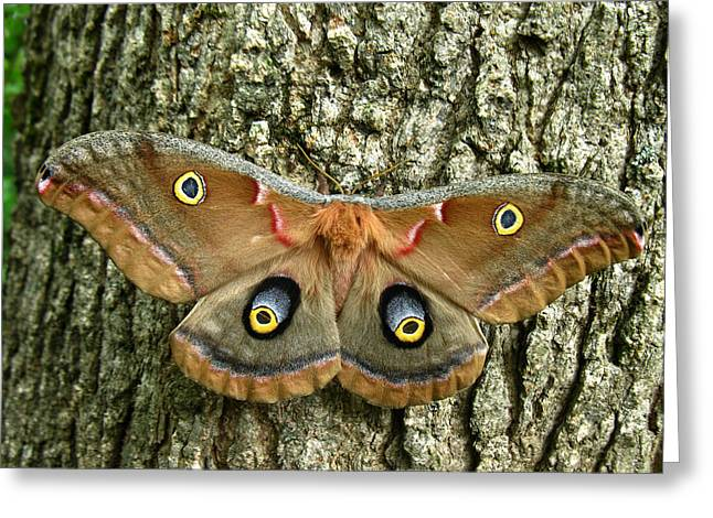 Greeting Card featuring the photograph Polyphemus Moth by William Tanneberger
