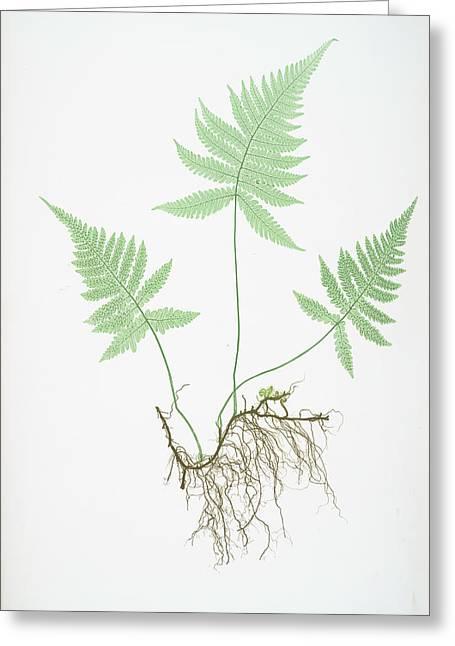 Polypodium Phegopteris Greeting Card by Artokoloro