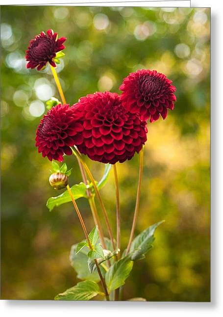 Pom Pom Dahlia Greeting Card