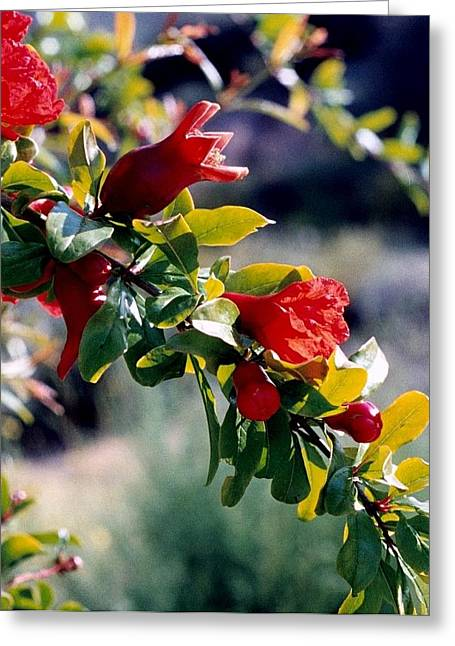 Pomegranate Forming Greeting Card by Kathy Bassett