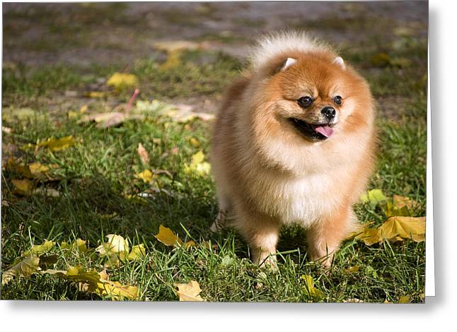 Pomeranian Dog Greeting Card