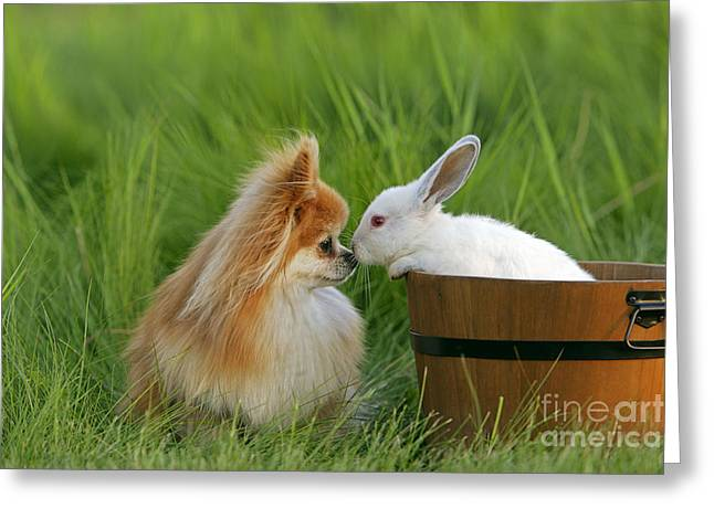 Pomeranian With Rabbit Greeting Card