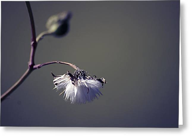 Pompon - 011 Greeting Card by Variance Collections