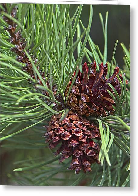 Ponderosa Pine Cones Greeting Card by Sharon Talson