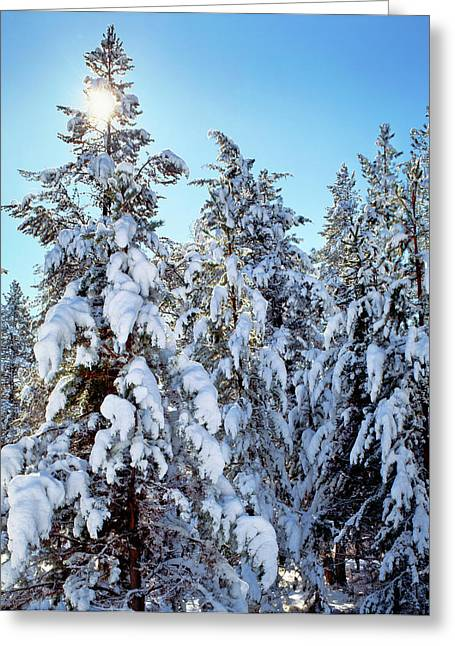 Ponderosa Trees Covered In Fresh Winter Greeting Card
