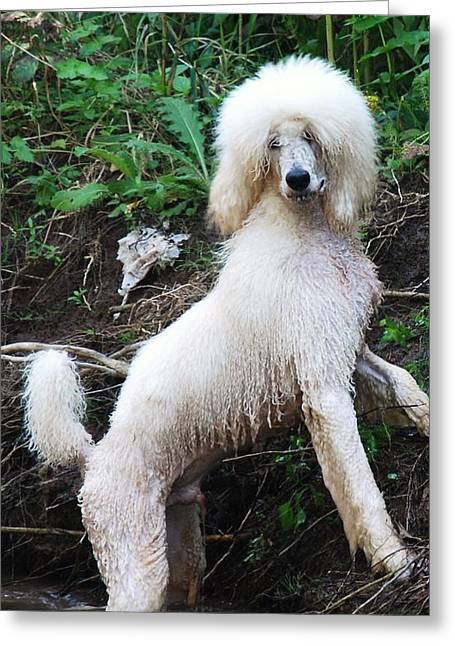 Poodle In The Forest Greeting Card