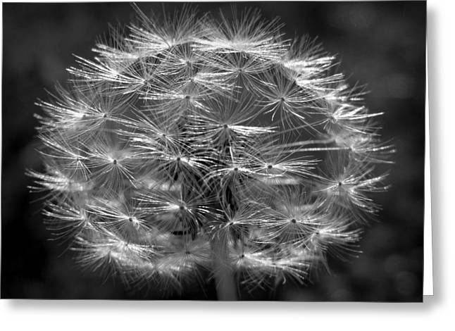 Greeting Card featuring the photograph Poof - Black And White by Joseph Skompski