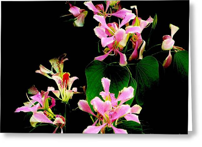 Poor Mans Orchid Greeting Card by Amar Sheow