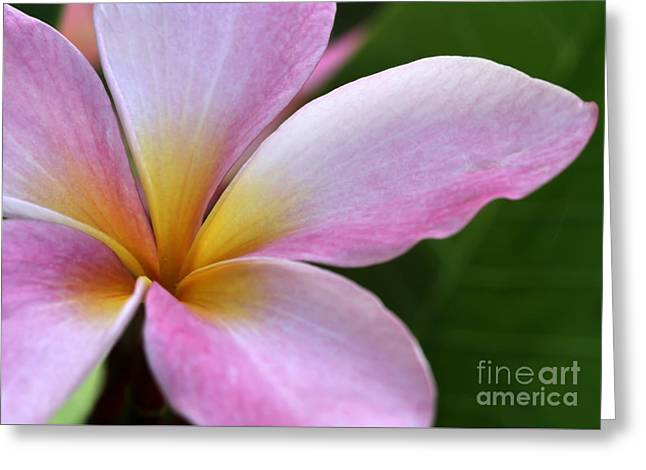 Pop Of Pink Plumeria Greeting Card by Sabrina L Ryan