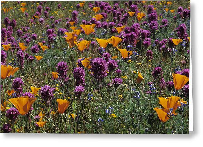 Poppies And Owl Clover Greeting Card