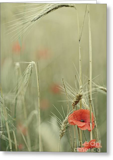 Poppies And Wheat Ear Greeting Card