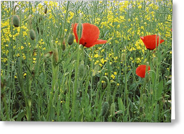Poppies Blooming In Oilseed Rape Greeting Card by Panoramic Images